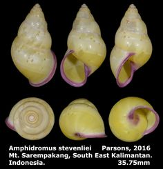Dr. Lee's Gallery Museum: Amphidromus stevenliei 35.75mm