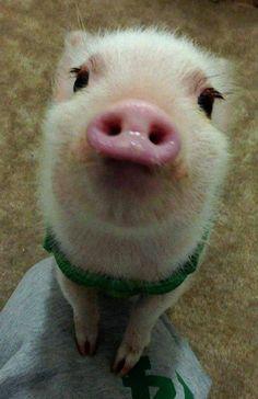 I've come so close to having a pet pig.....
