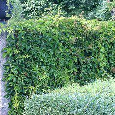 De bästa lättodlade, frodiga klätterväxterna | Wexthuset Garden Plants, Hydrangea, Gardening Tips, Outdoor Gardens, Home And Garden, Plank, Anna, Bulletin Boards, Gardens