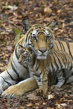 Tiger's lair photo gallery by Suzi Eszterhas
