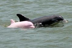 A baby albino dolphin, with reddish eyes and glossy pink skin on Calcasieu Lake, a saltwater lake south of Lake Charles, Louisiana