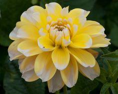 Bahama Yellow Dahlia
