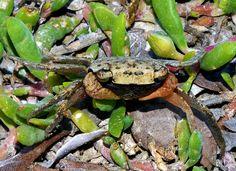 Mangrove crab, Portland Bight, Jamaica.
