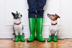 Living in the El Paso desert we understand the importance of how much we need rain. This week we are expected to see a historic amount of rain! We know the desert is prepared for the rain, but what about our pets? Rain can leave your outdoor. Dog Rain Boots, Jack Russells, Training Your Puppy, Training Tips, Reiki Training, Potty Training, Pet Safe, Jack Russell Terrier, Terrier Dogs