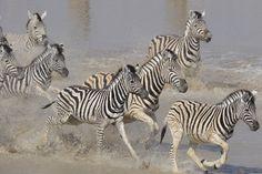 zebra-migration-at-leroo-la-tau-.jpg (4256×2832)