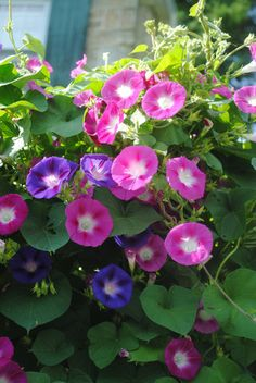 a good thing happened, I thought morning glories were amazing when I was a kid, still do.