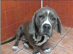 pictures of baset hounds mix pitbull dogs | This is Stella ...