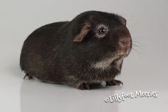 Lillyfoot Meerschweinchen Schoko-Weiß-Loh