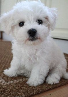 White fluffy cuteness