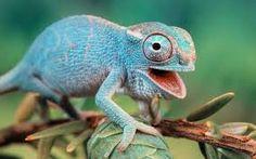 chameleon - Google 検索