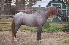 Welsh Pony (section B) stallion Rise 'N Shine Daydream Believr