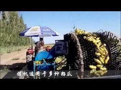 Cách Thu hoạch bí ngô của người Nhật | Nông nghiệp Nhật Bản
