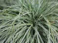 Everest™ Carex http://www.bloomingandbeautiful.com/Everest-Carex-P11620.aspx