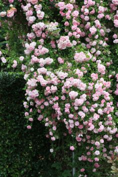 Climbing Roses...New Dawn  Would be great on our back fence
