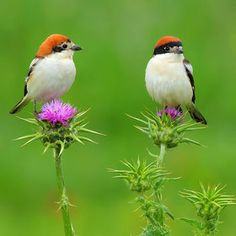 The Woodchat Shrike (Lanius senator) - Photo Andrés Miguel Dominguez Pretty Birds, Love Birds, Beautiful Birds, Beautiful Couple, Exotic Birds, Colorful Birds, Bird Wallpaper, Kinds Of Birds, Bird Pictures
