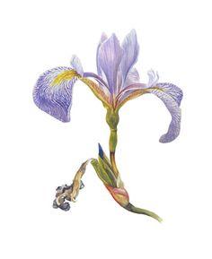 "Blue Flag Iris, Watercolor, 14"" x 10"" by Mark Granlund"