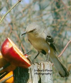 Mocking bird.  Photo by Rachael Irvine, Irvine's Place Photography Mocking Birds, Cute Birds, Country Life, Mississippi, Peeps, Places, Photography, Animals, Beautiful