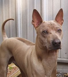 Thai ridgeback photo | Thai Ridgeback dog face photo and wallpaper. Beautiful Thai Ridgeback ...