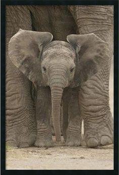 "0-028753>37x25"" Big Ears Baby Elephant Framed Art Gel Coated"