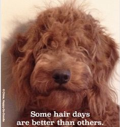 """Some hair days are better than others and 7 more """"golden"""" lessons a happy (yet """"harried"""") dog mom learned when a Goldendoodle puppy joined the family. Goldendoodle Names, Puppy School, Puppy Teething, Puppy Stages, Goofy Dog, Puppy Day, Doodle Dog, Toy Puppies, Crazy Dog"""