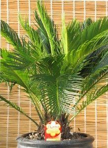 Magnifica palmácea de tronco corto y engrosado, terminando en un copete de hojas rígidas, largas, compuestas, formadas por un período sobre el que se adhieren hojitas lineales de bordes curvados y de matiz verde oscuro. www.plantasinterior.com