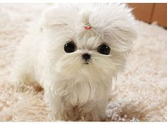 Top Cute AKC Tea-Cup Maltese Puppies Now Available