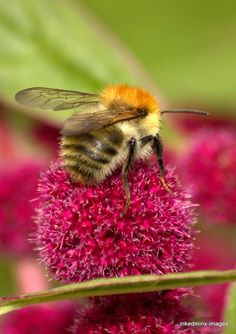 We can't live without bees.A welcome sight in the Spring to see these wonderful pollinators. Beautiful Creatures, Animals Beautiful, Cute Small Animals, Virtual Flowers, Buzzy Bee, Bee Photo, I Love Bees, Bee Friendly, Beautiful Bugs