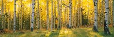 Aspen trees in a forest, Coconino National Forest, Arizona, USA | DesignYourWall