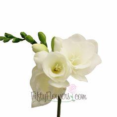 Freesia o Fresia blanca  Conocida por su alta calidad, fragancia dulce y duradera vida en arreglos. Es una planta bulbosa, de pequeño porte, suele alcanzar apenas unos 30 centímetros de altura. Hojas estrechas, de color verde oscuro, con una longitud de unos 15 cm. Hay flores de todos los colores y son bastante perfumadas.  Como flor cortada dura mucho tiempo, prodigando su delicioso aroma
