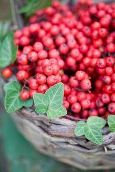 Rowan berries  via Kaille Mazurowski