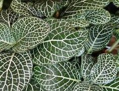Image of Fittonia albivenis photo by James Burghardt Nerve Plant, Houseplants, Indoor Plants, Exotic, Tropical, Leaves, Flowers, Image, Gardens