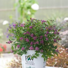 """Double Play® Artisan® - Spirea - Spiraea japonica Double Play spiraeas have both colorful flowers and colorful foliage. In addition to vibrant pink summer flowers, Double Play Artisan has rich purple red new growth in spring. You'll get months of vibrant color from this adaptable, easy to grow plant. It maintains its compact, mounded shape with very little pruning, and has more vivid color than other spiraea varieties. 24-30"""" t & w"""