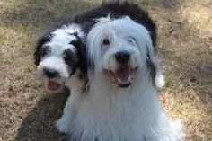 old english sheepdogs playing with people - Google Search
