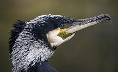 https://flic.kr/p/FED41b | Portrait of a cormorant | I was lucky to take nice photos of quite nearby cormorants, and here is one of them!