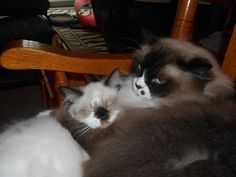 """My big boy """"ROCKY"""" grooming one of the kittens. Sept.2014"""