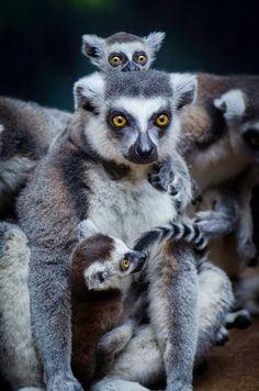 Lemur Mama Focused on family