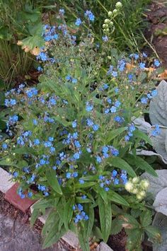 View picture of Chinese Forget-Me-Not (Cynoglossum amabile) at Dave's Garden.  All pictures are contributed by our community.