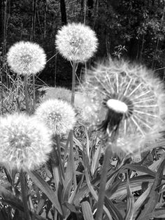 dandelions - painting idea???
