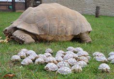 Back to the Mother Ship!  This 30 year old Sulcata Giant Tortoise gave birth to a clutch of 45 hatchlings! It was difficult to get them all together for a family photo
