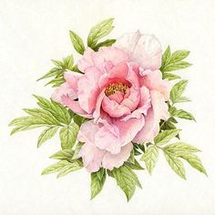 Flower Drawings in Pencil Colour | Colored Pencil Peony-Final