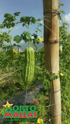momordica (bitter melon or cundeamor) fruit hanging off HORTOMALLAS trellis net for vegetable support. Bitter Melon, Gourds, Trellis, Cactus Plants, Asparagus, Vegetables, Fruit, Growing Cantaloupe, Farmer
