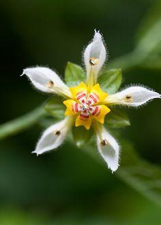 Nasa triphylla - Flickr - Photo Sharing!