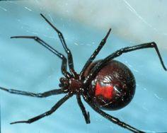 karadul örümceği - Google'da Ara