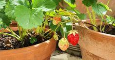 Welk Fruit kan in een pot of plantenbak? Albizia Julibrissin, Cupressus Sempervirens, Ficus, Strawberry, Plants, Gardening, Sycamore Trees, Lawn And Garden, Strawberry Fruit