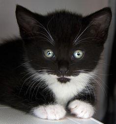 *_*tuxedo cat