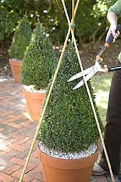How to shape and trim boxwoods | Visit the post to see how to incorporate potted boxwood into your landscaping