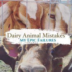 Dairy Animal Mistakes and Failures   Homesteading   Raw Milk   Cows   Goats   Livinlovinfarmin