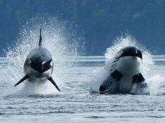 awarenessforcetaceans: Two Transient (Biggs) orca porpoising.