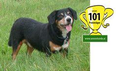 101 Erfolge Champion, Animals, Pictures, Entlebucher Mountain Dog, Pet Dogs, Animales, Animaux, Animal, Animais