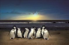 Experience one of the world's famous Penguin Parade. Browse great Phillip Island private tour deals in Melbourne, Victoria and get awesome discounts. Penguin Parade, Penguin Walk, Places To Travel, Places To Visit, Brisbane, Sydney, Phillips Island, Ayers Rock, 100 Things To Do